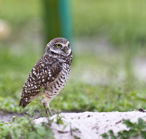 wild usa bird home nature standing outside outdoors sand nikon natural nest florida wildlife guard ground owl northamerica habitat owls avian burrow burrowingowls coopercity brianpiccolopark coth5 tnwaphotography