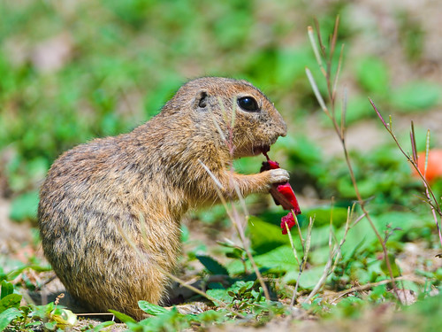 Ground squirrel eating | by Tambako the Jaguar