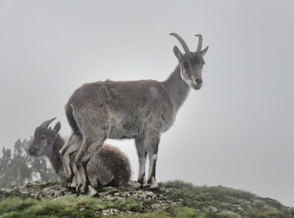Female Walia Ibex, Simien Mts, Ethiopia