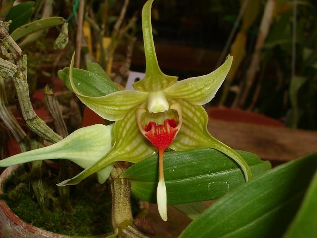 Dendrobium tobaense 2007-06-02 01