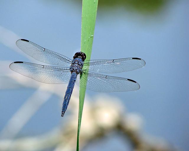 Dragonfly 7-11-12 (1)