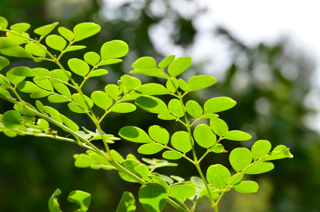 Moringa Olifera Leaves
