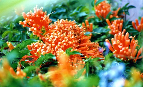 Flowers in Rwanda