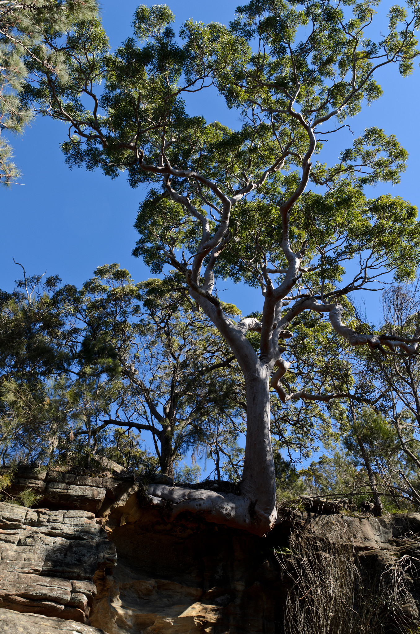 20120624 019 Tree stuck out on a cliff from Hike in Kuringai Chase National Park