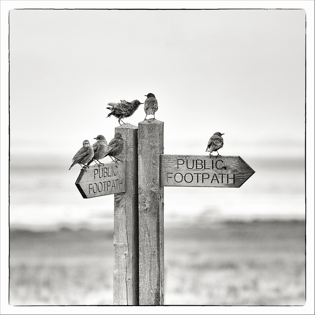 Family Of Starlings - Spurn National Nature Reserve, Yorkshire.