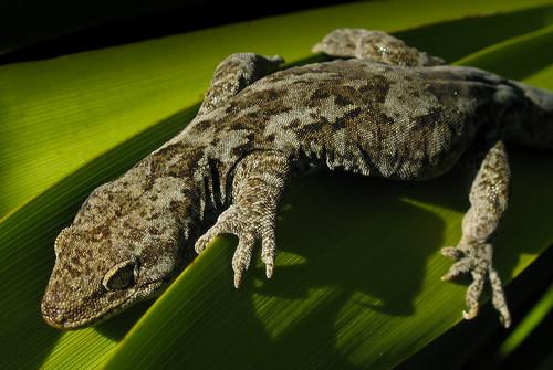 Korero Gecko (Southland form), Omaui