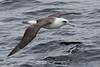 Laysan Albatross - Phoebastria immutabilis by 1 RareBird