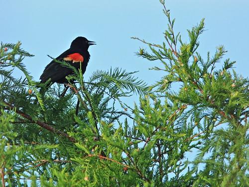 Red-winged Blackbird on cypress 20160722