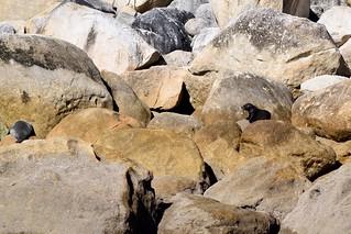NZ Fur Seals | by ndimmock