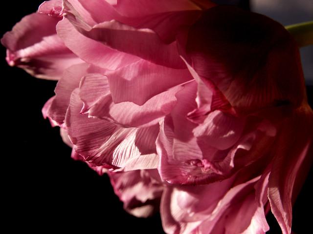 Ruffled Tulip 2
