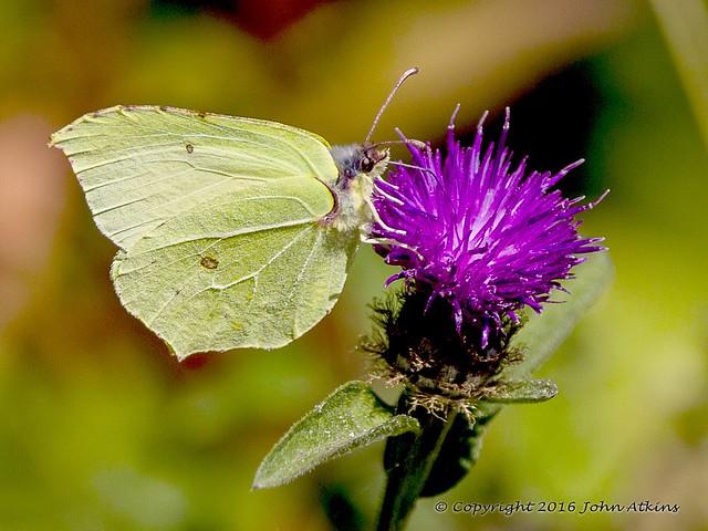 Brimstone Butterfly  15/08/16