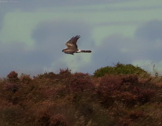 pallid  Harrier sighting peak district 3.30pm 9.9.16 crop2 (3)