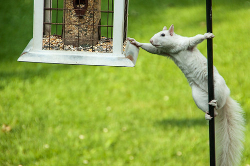 White Squirrel at Feeder | by Conrad Kuiper