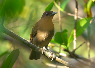 DSC06987.Clay-colored Robin, Quepos | by Berit Christophersen
