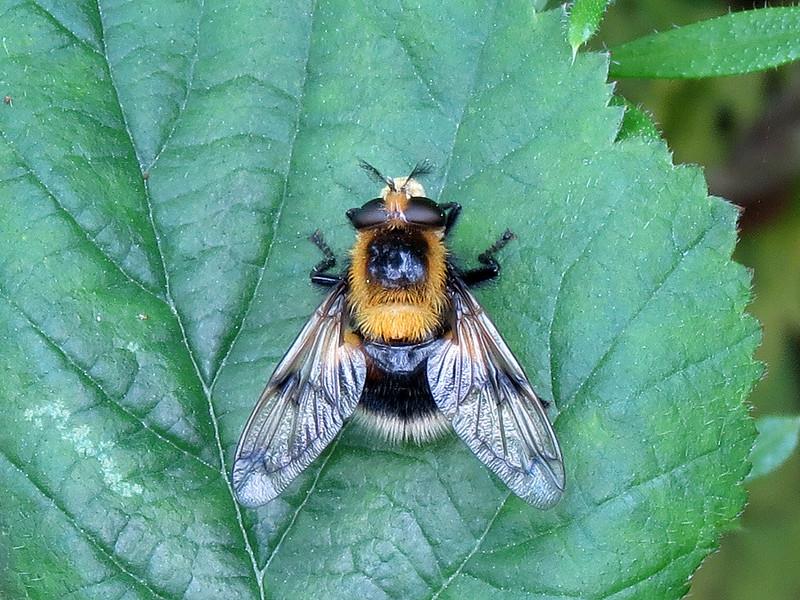 Volucella bombylans - form: plumata