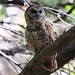 Flickr photo 'Spotted Owl #10    ---' by: Aaron Maizlish.