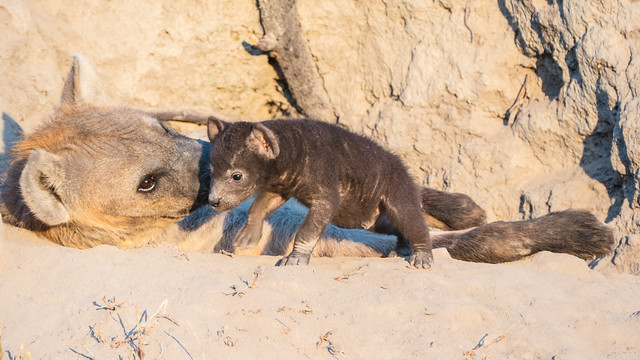 Hyena and Cubs 3