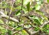 Inezia tenuirostris - Slender-billed Tyrannulet - Atrapamoscas Pico Tenue
