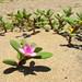 Verdolaga de Playa - Photo (c) Josh*m, algunos derechos reservados (CC BY-NC-SA)