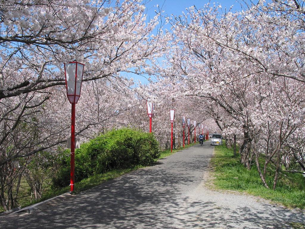 Foto Foto Pemandangan Bunga Sakura Jepang 12