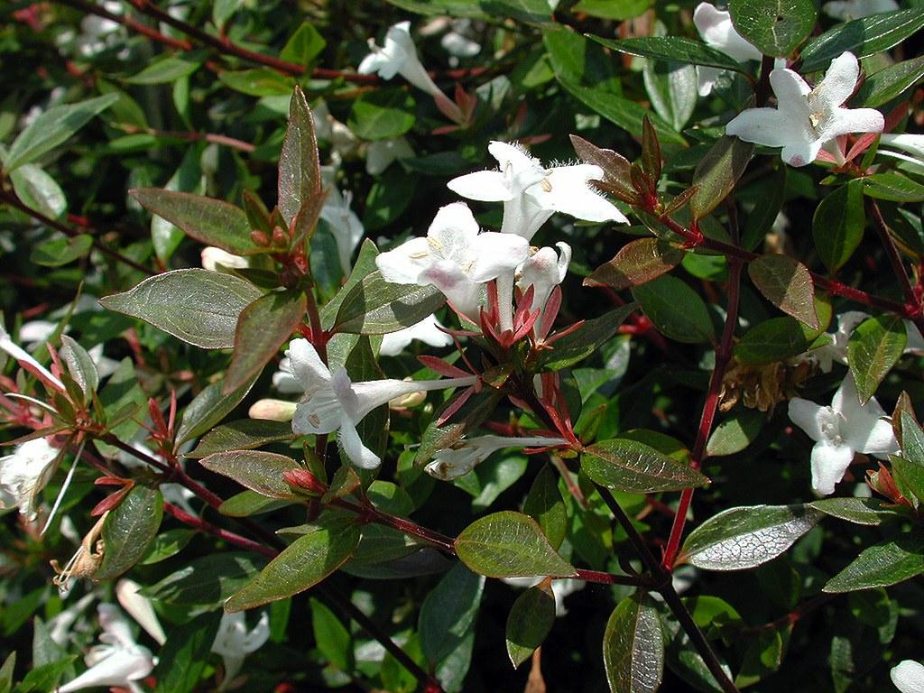 Abelia Chinensis Rbr 1818 Caprifoliaceae Paco Garin Flickr