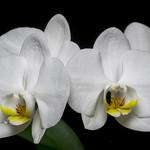 White Phalaenopsis - 5981