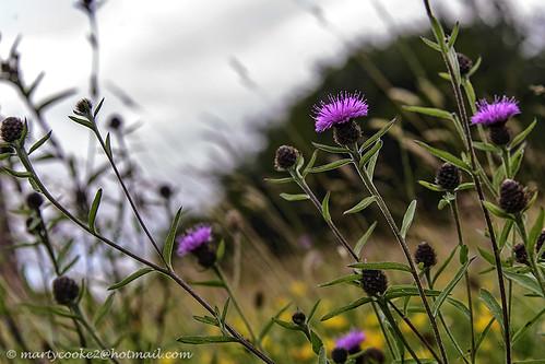 botany botanical wildflower wildflowers wildplant plant outdoor outside blossom depthoffield ireland