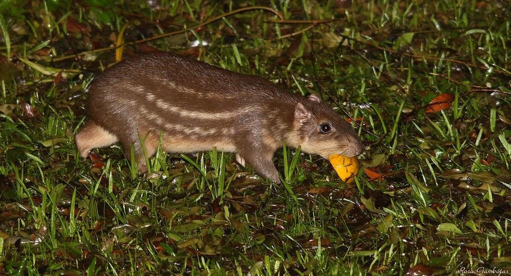 Paca | Spotted Paca (Cuniculus paca)