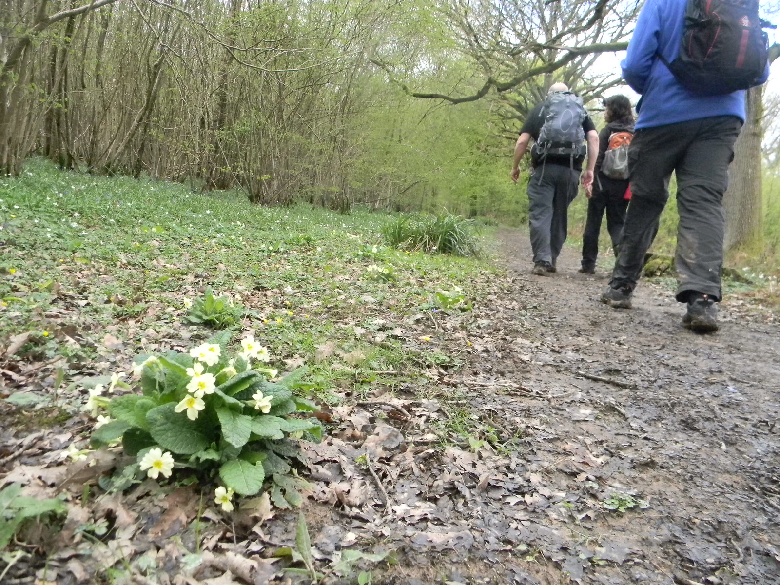 Primrose and people Ockley to Warnham