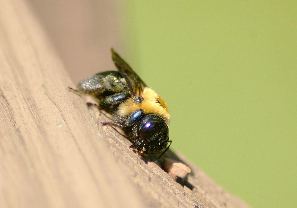 Wood Bee