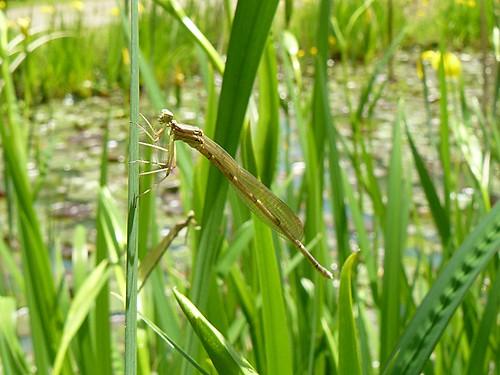 japan dragonfly may miyazaki 2012 damsel dld sympecmapaedisca siberianwinterdamsel ayapond