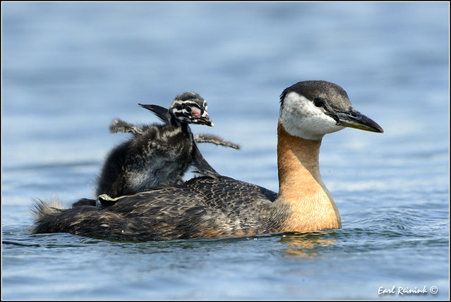 Red-necked Grebe (20120620-1953)