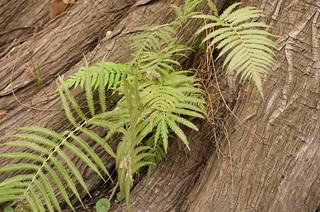 Ferns in Cypress