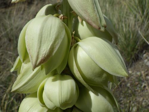 Yucca glauca | by Matt Lavin