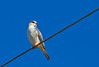 Pearl Kite - Brazilian Birds - Species # 031 by Bertrando©