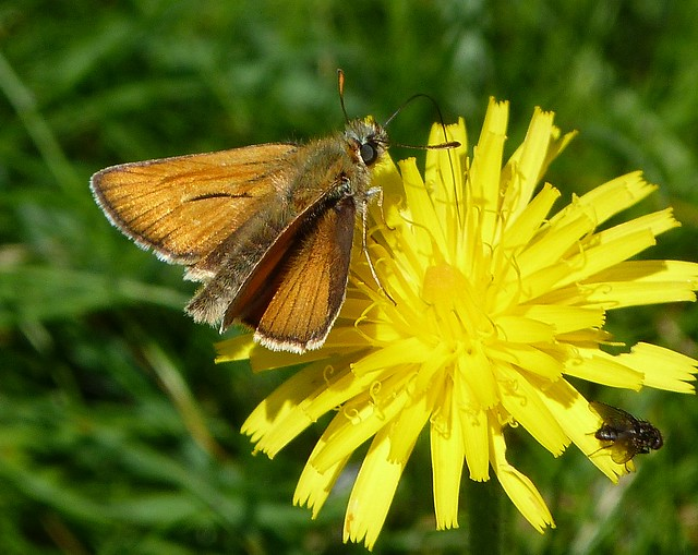 Skipper Butterfly and Fly :)