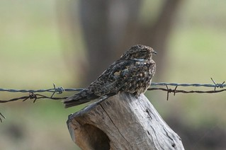 Lesser Nighthawk | by btrentler