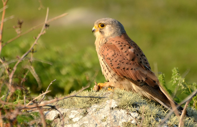 Kestrel and toad