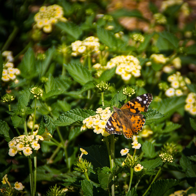 Small Monarch Butterfly and Flowers