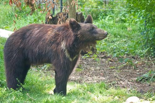 brown bear / Braunbär | by Missud