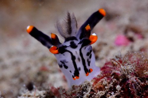 Thecacera picta 彩繪多角海蛞蝓