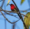 sunbird-crimson-1