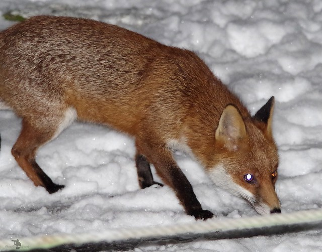 Urban wild red fox in the snow  (3)