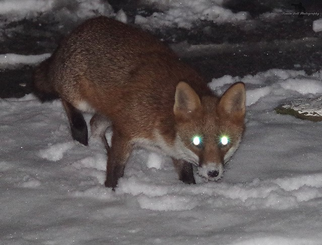 Urban wild red fox in the snow  (6)