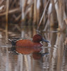 Cinnamon Teal by Ceredig Roberts