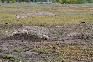 Prarie Dogs | by CorporateRunaways