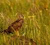 African Marsh-Harrier by Nydiaso.