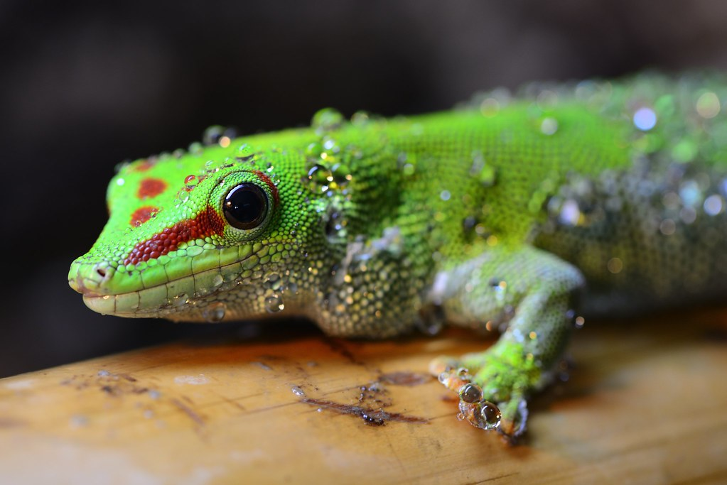 Phelsuma grandis | Moof, as one of the first subjects for a … | Flickr