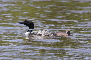 Common Loon with young - Sesekinika Lake - Sesekinika Ontario