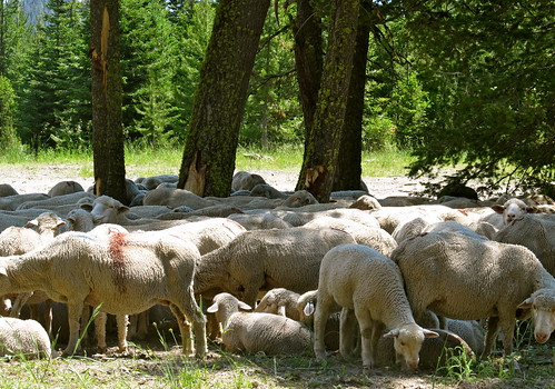 summer mountains wool animals scenery montana sheep scenic heat livestock